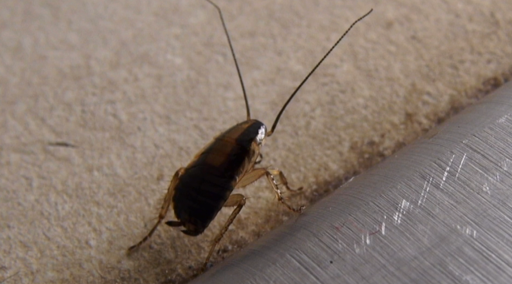 Minneapolis Housing Complex Infested With Cockroaches Com